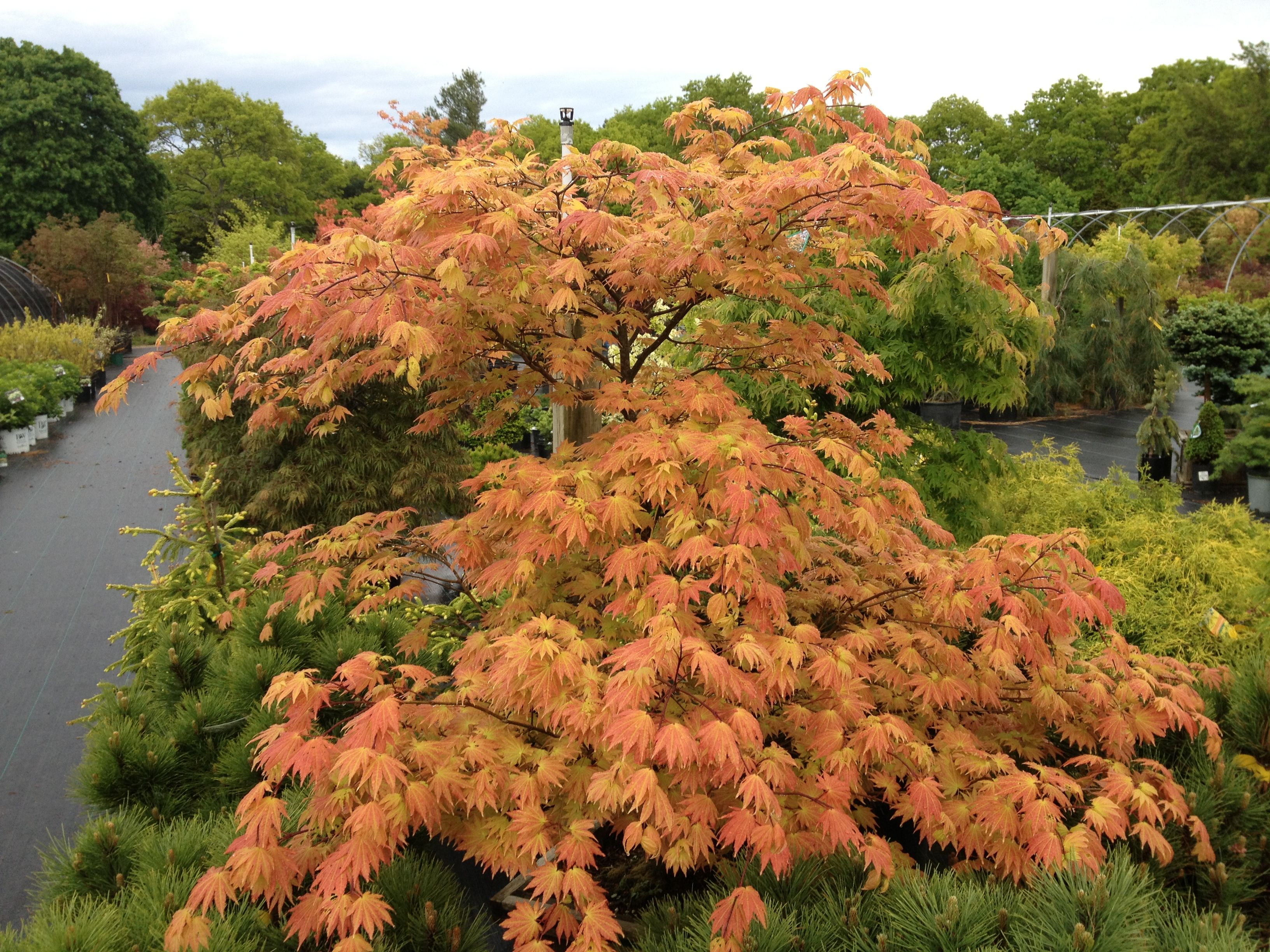 autumn moon fullmoon maple