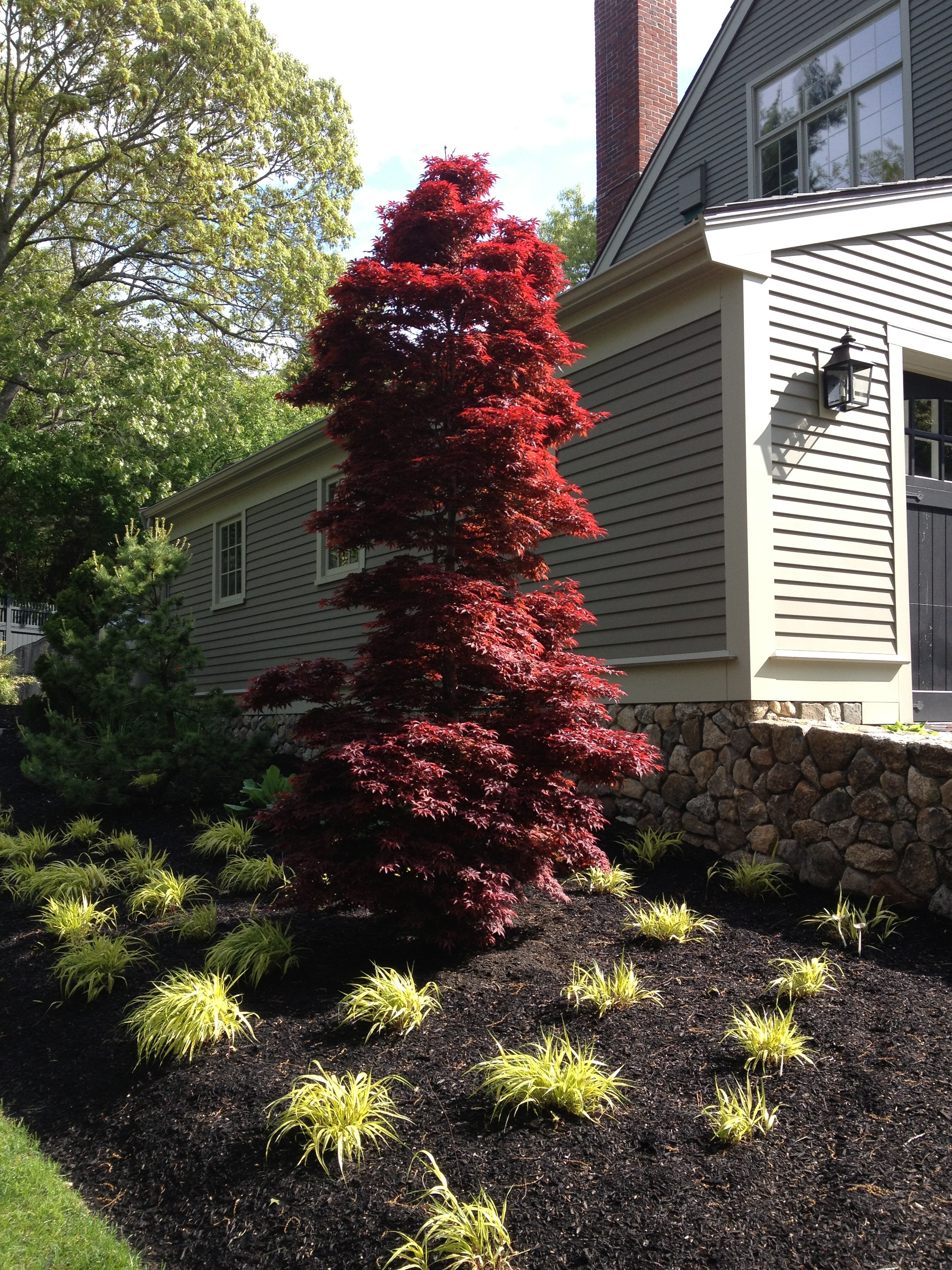 red sentinel japanese maple