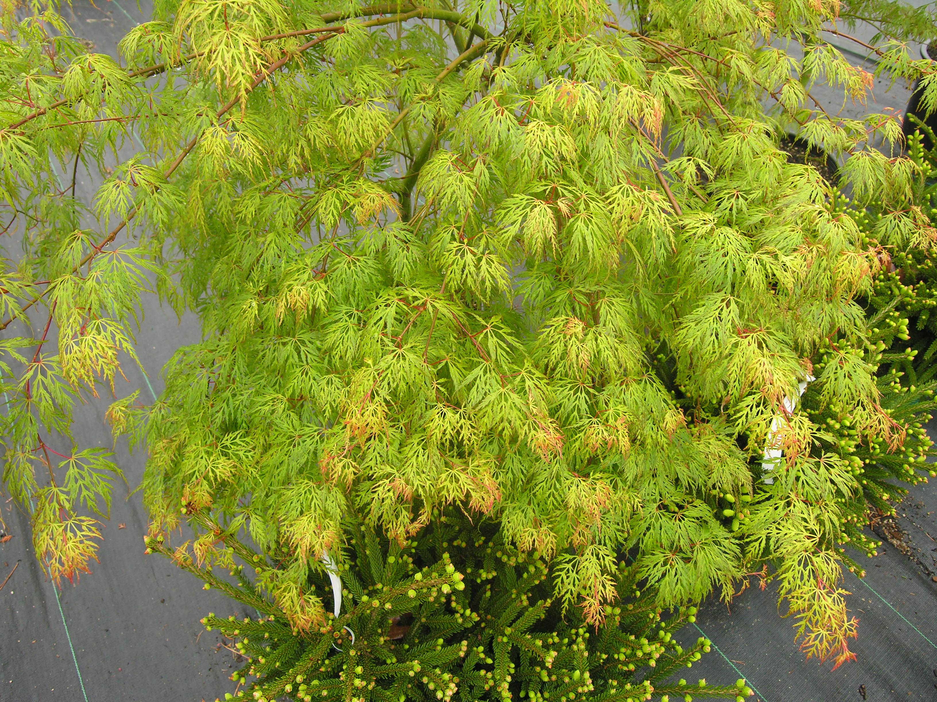 Emerald lace japanese maple katsura gardens for Garden trees shrubs