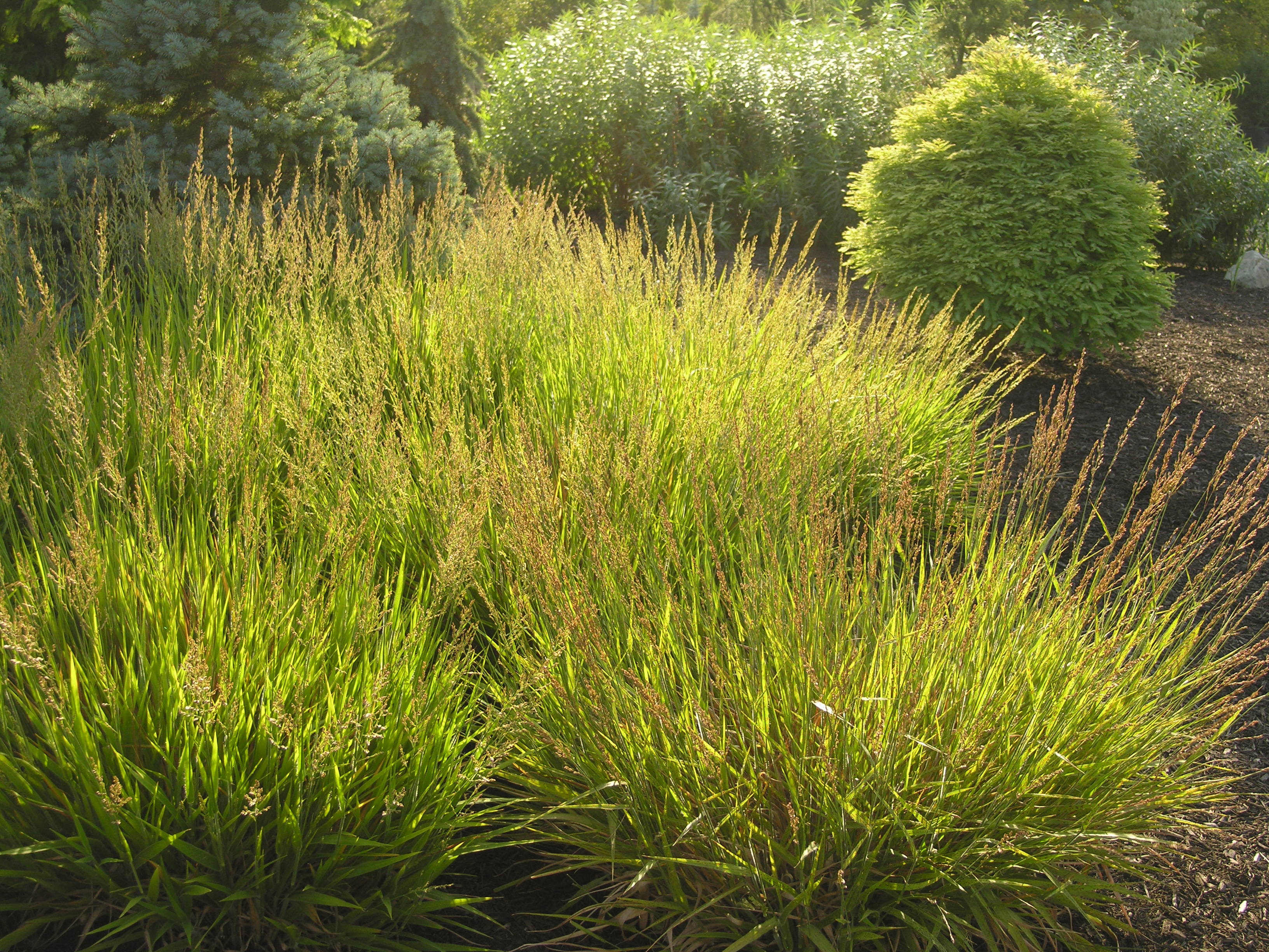 Cheju do feather reed grass katsura gardens for Full sun perennial grasses