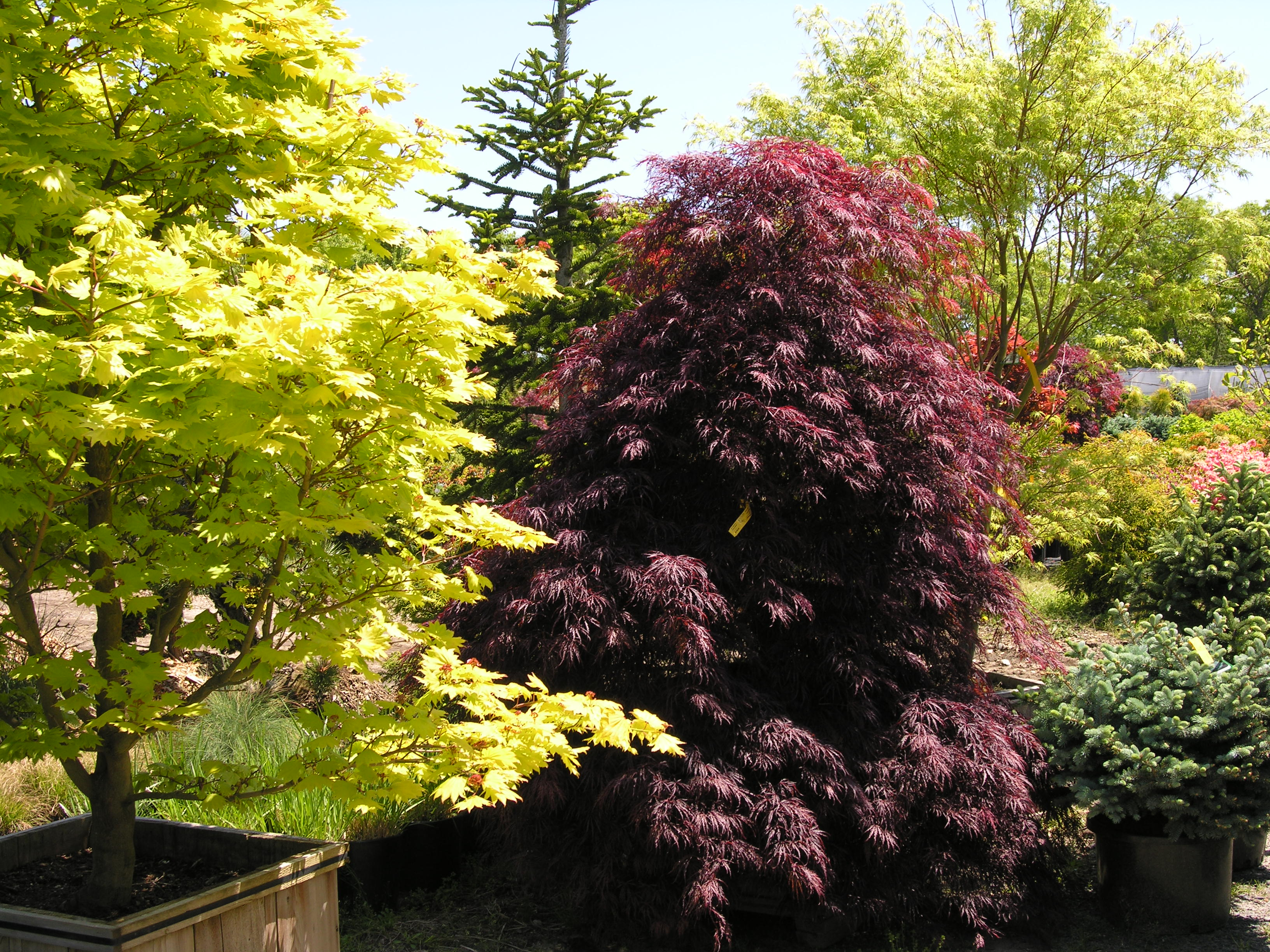 Red Select Laceleaf Japanese Maple Katsura Gardens