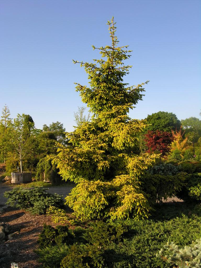 Skylands Oriental Spruce Katsura Gardens