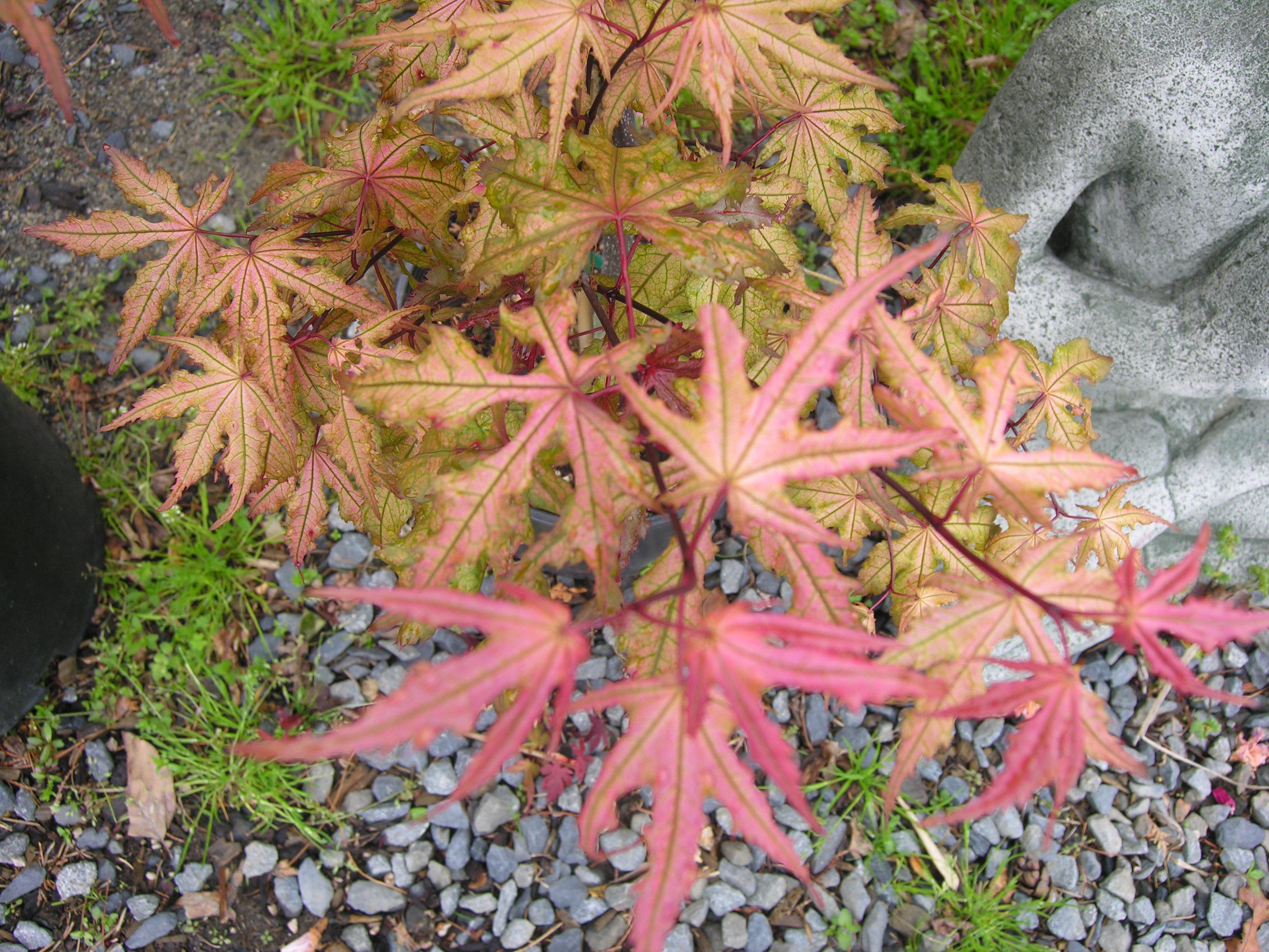 Amber Ghost Japanese Maple Katsura Gardens
