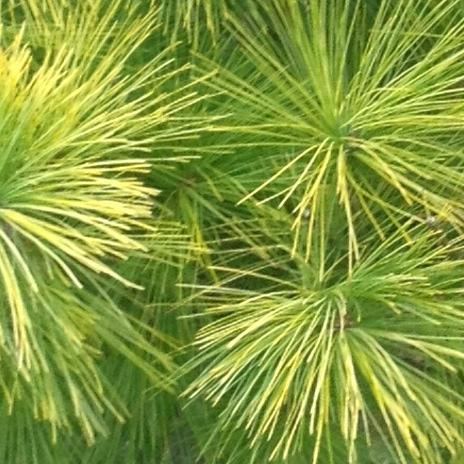 yellow pine latin dating site Part 2: management of loblolly pine chapter 4 site preparation  date  information about growth and yield, resource inventory, and  based very largely  on an accumulation of scientific and  stock of all southern yellow pine total  biomass.