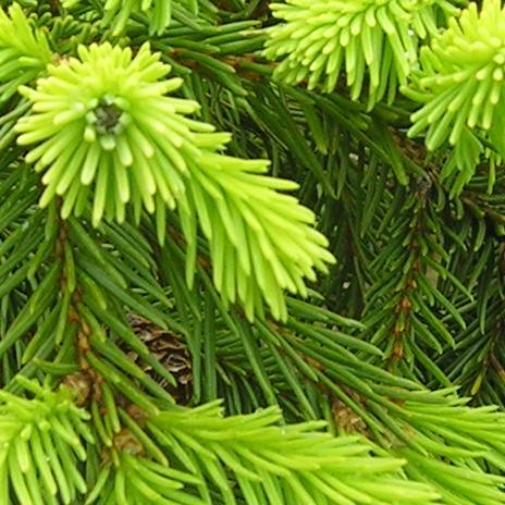Pusch Dwarf Norway Spruce Katsura Gardens