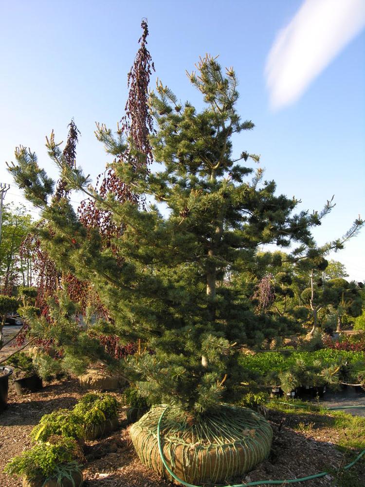 Blue Japanese White Pine | Katsura Gardens